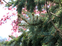 Pine Tree and Blossoms